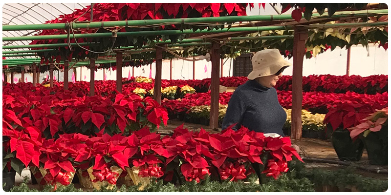 Life with Poinsettias